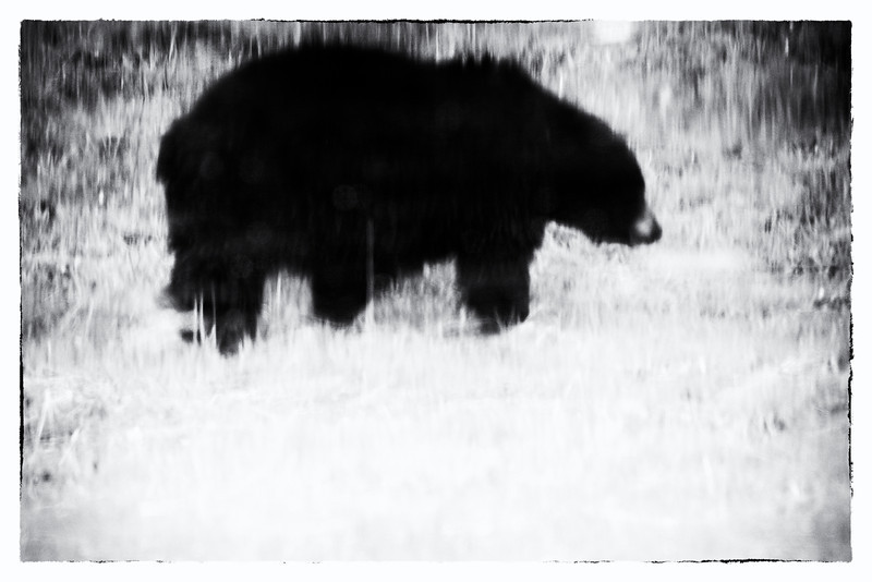 Black bears, Ursus americanus