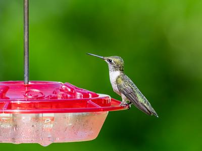 Ruby-Throated Hummingbirds 2021