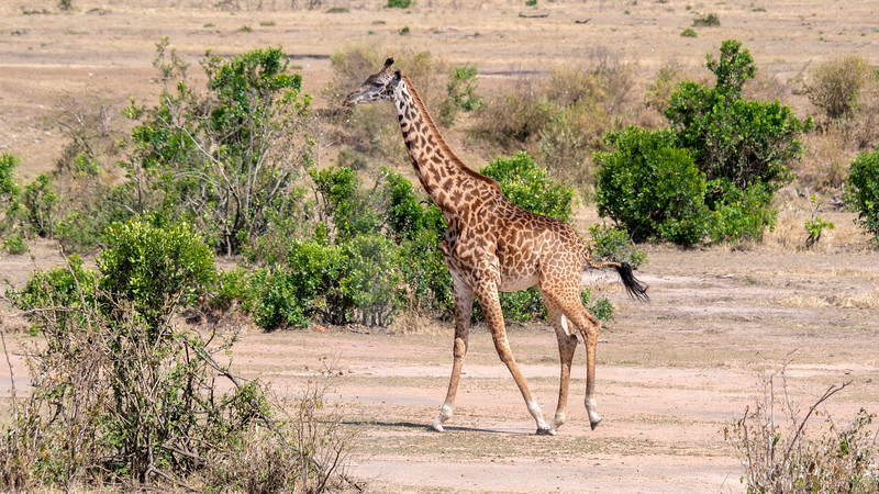 Tanzania-Serengeti-National-Park-Safari-Giraffe-03.jpg