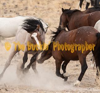 Utah Wild Horses & Yellowstone Park 2018