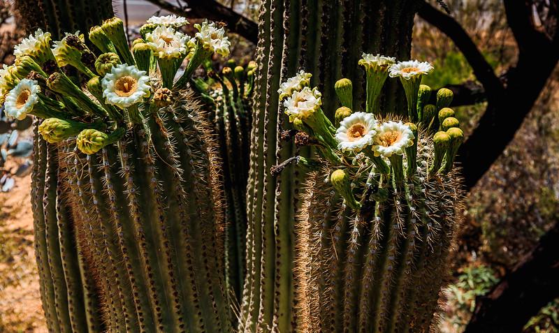 Cactus Flowers 5-2015-0616.jpg