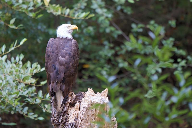 Bald Eagle in Big Sur