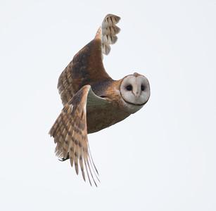 Hawks, Owls and Predator Birds