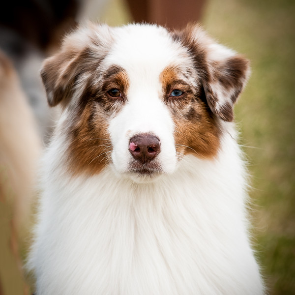20161120_Greater Sierra Vista Kennel Club_Aussies-7-2.jpg