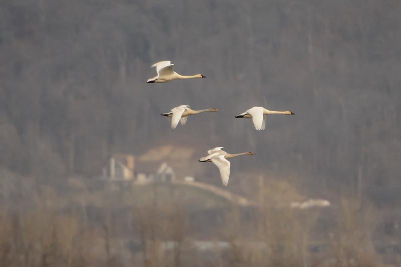 Swan - Tundra - Brownsville, MN