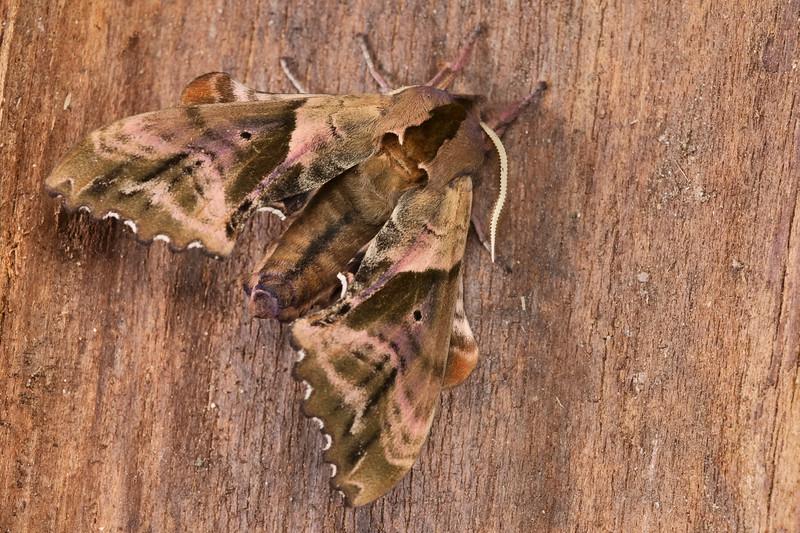 Small-eyed Sphinx Moth