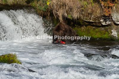 Brown Bears at Katmai NP Alaska 2014-10