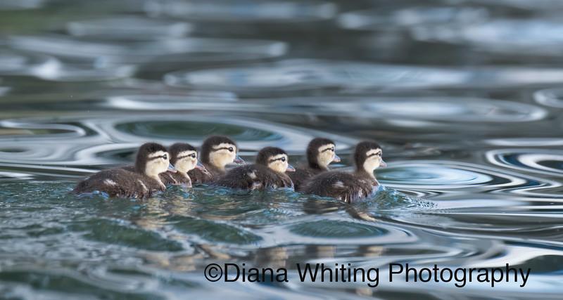 Wood Duck Chicks Summer