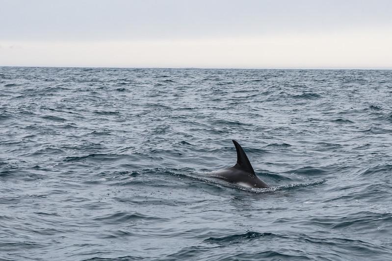 White-beaked Dolphin - Greenland Sea