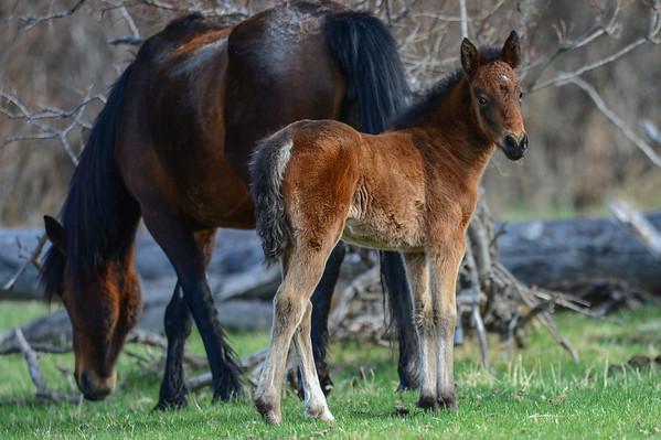 5 2013 May 15 Albeta Wild Horses (Foal Hurt)