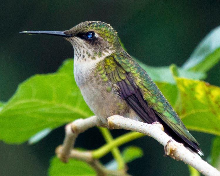 hummingbirdonmulberrytwig15.jpg