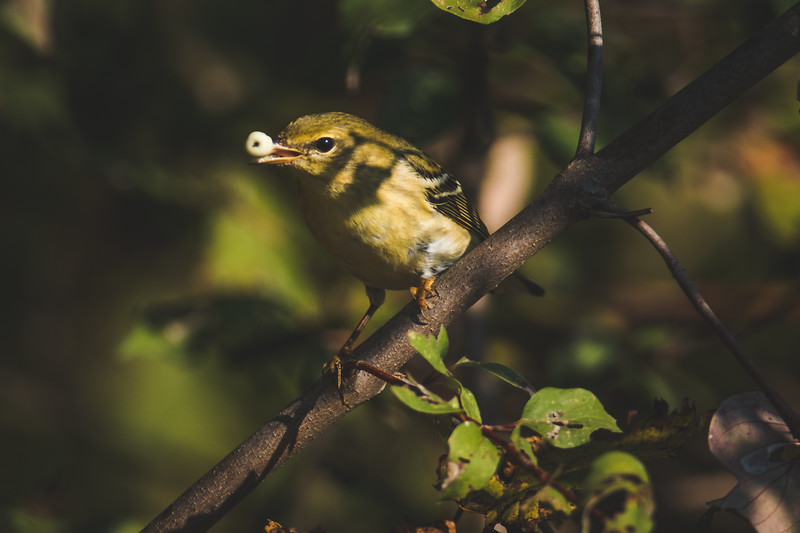 A Blackpoll Warbler at the Celery Bog near the campus of Purdue University in West Lafayette, Indiana.