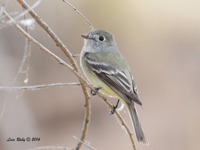 Unknown Empid - 4/19/2014 - San Pedro Riparian National Conservation Area, Sierra Vista, Az