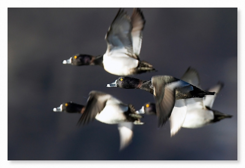 ringed duck.jpg