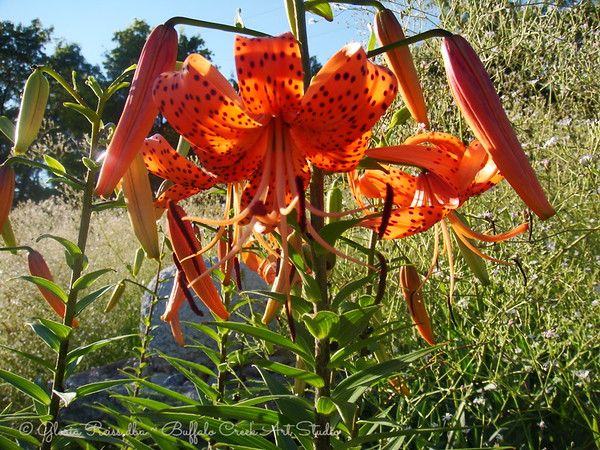 Turban Lily and Babies Breath