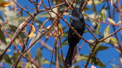 STA Birds 11 - Thrushes, Thrashers, Starling, Waxwing & Phainopepla