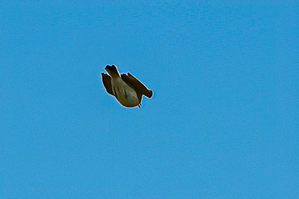 Skylark Descending 2306--2.jpg
