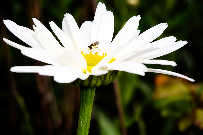 Might be a type of hoverfly.