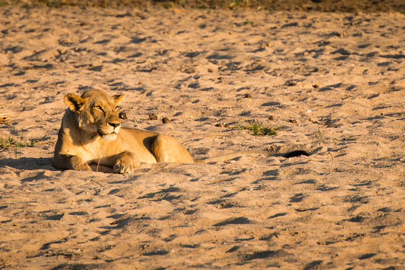Lioness in the sunset