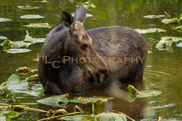 06/18/18 Cow Moose in Cataldo, Idaho