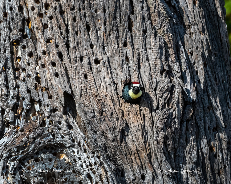 _DSC4274Acorn Woodpecker Peeking.jpg