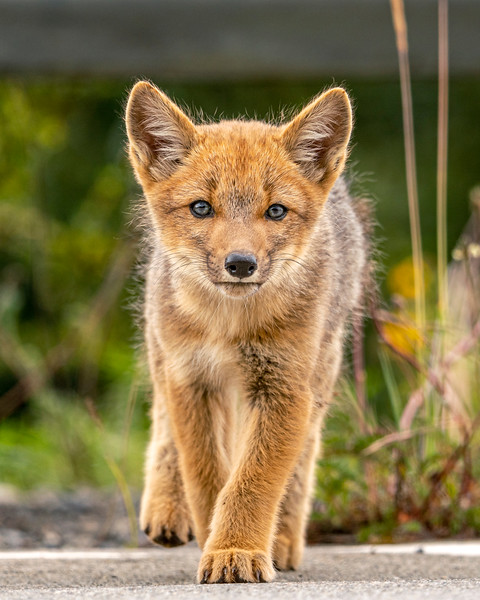 Cutest Fox Portrait