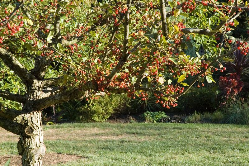 Fall fruiting of the Sargent Crab Apple in the back yard.
