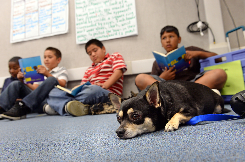 . Diego\'s Dudes lunchtime reading club at Felton Elementary School in Lennox. Teacher Alex Carrera brings her Chihuahua Diego to class as a mascot to help boys improve reading skills. Photo by Brad Graverson 5-15-13