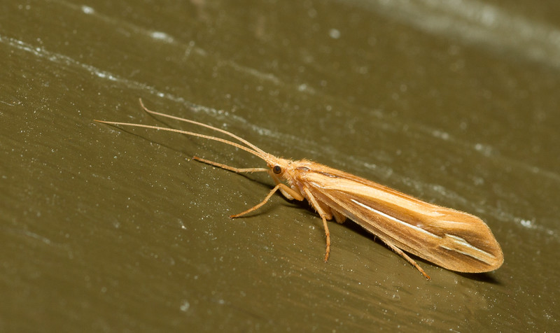 Caddisfly (Trichoptera) from Grand Teton National Park in Wyoming.