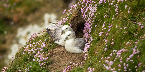 Shetland Birds and Wildlife