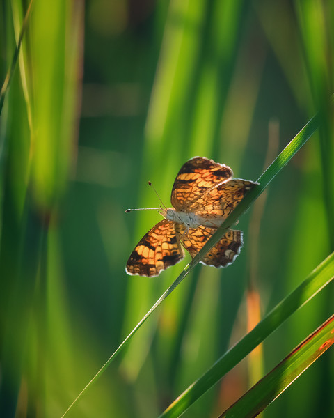 Pearl Crescent in the Long Grass
