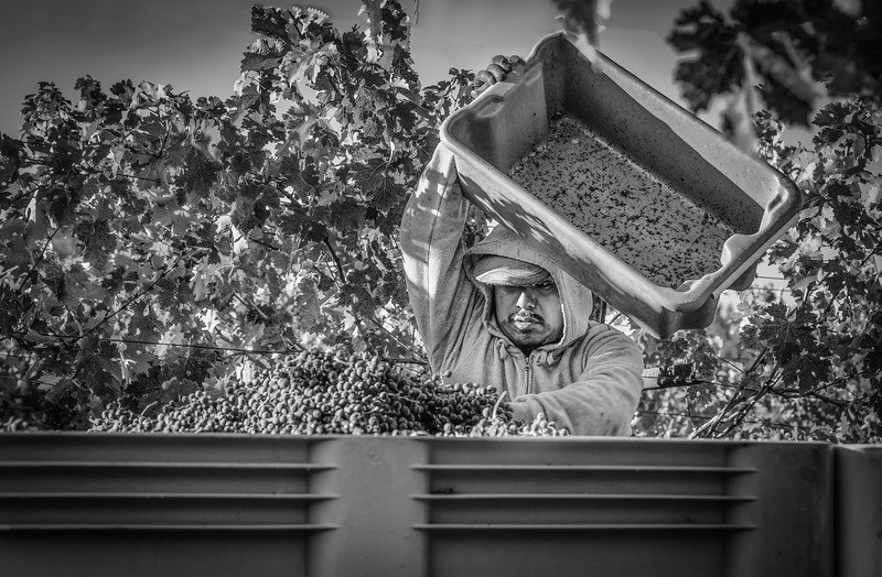 Grape Picker B&W - Emptying Bin.jpg
