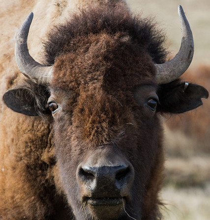 Bison portraits