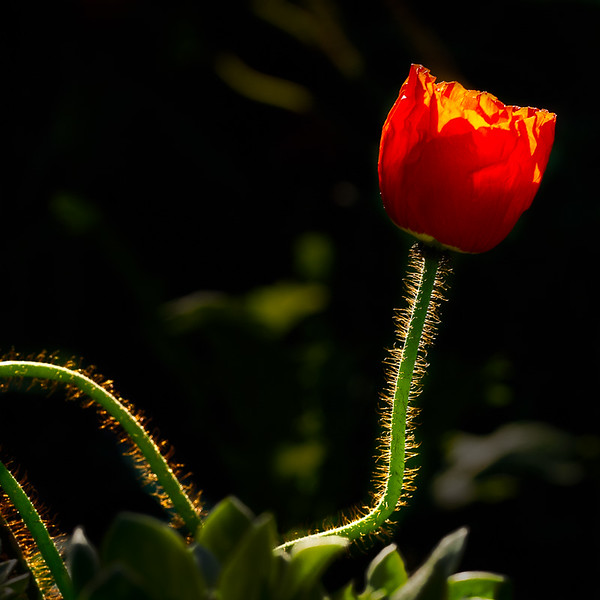 March 13 - Late winter tulip bloom in the Gety Garden, Los Angeles.jpg
