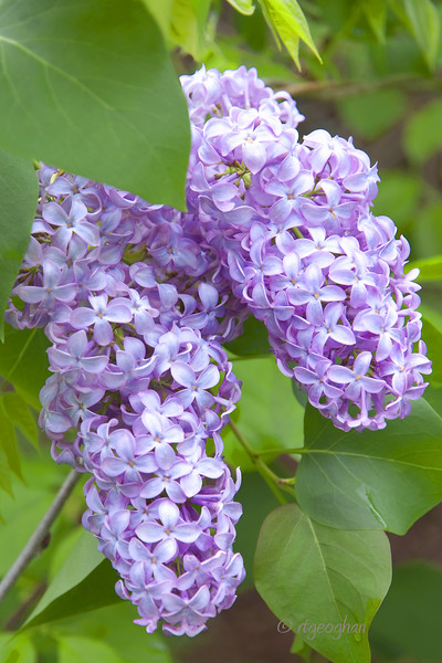 Flowering Shrub_Lilac_0017.jpg