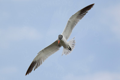 Tern, Common