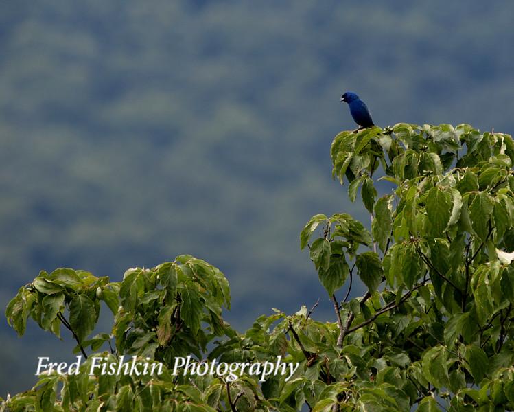 skyline bluebird.jpg