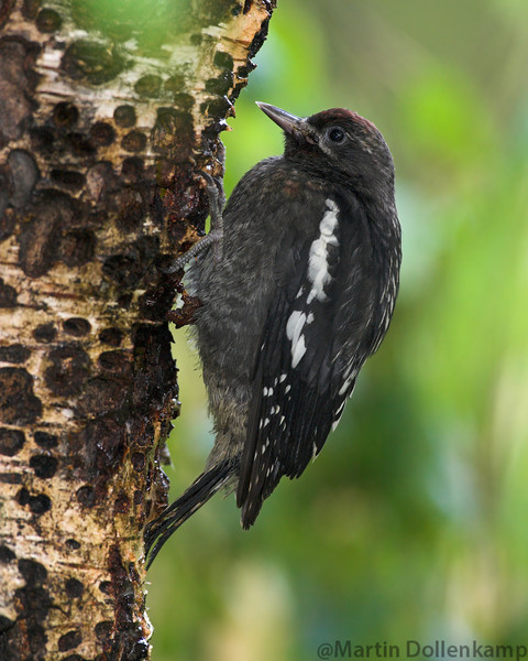 Red-breasted Sapsucker fledgling, they are left on the tree by them selves, the parents come by regulary to feed them insects and to keep the sap flowing.