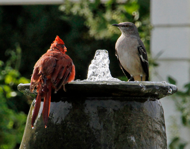 Cardinal and mockingbird in fountain