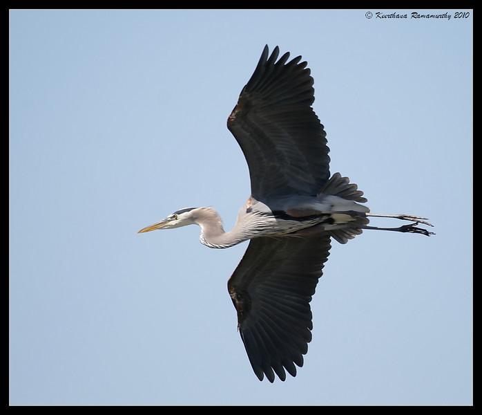 Great Blue Heron, San Joaquin Marsh, Orange County, Los Angeles, California, May 2010