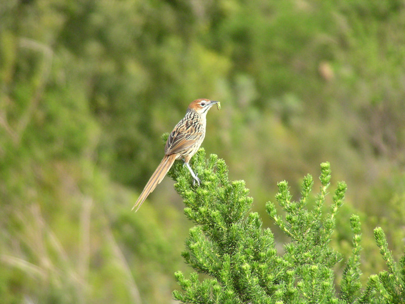 Cape Grassbird (Sphenoeacus afer)