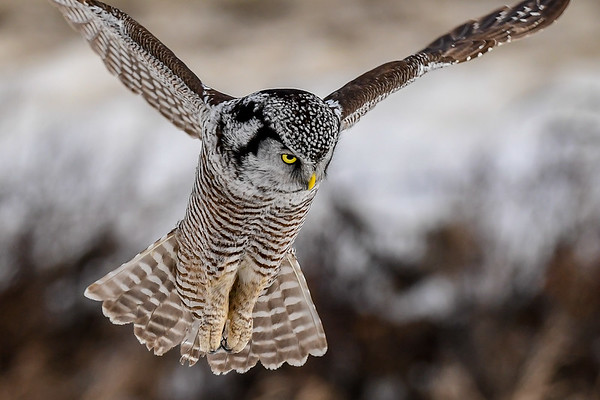 2-16-17 **Northern Hawk Owl - The Hunt - 9
