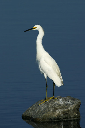 Other Egrets