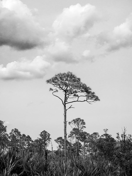 Scrub Pine, Jonathan Dickinson State Park, Hobe Sound, Florida (39301)