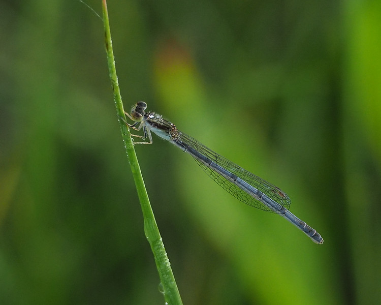 Eastern forktail, female