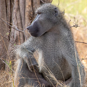 Baboon and Vervet Monkey