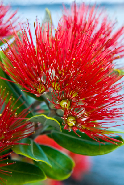 Close up of the crimson bloom of a New Zealand Christmas tree or Pohutakawa. Auckland waterfront New Zealand