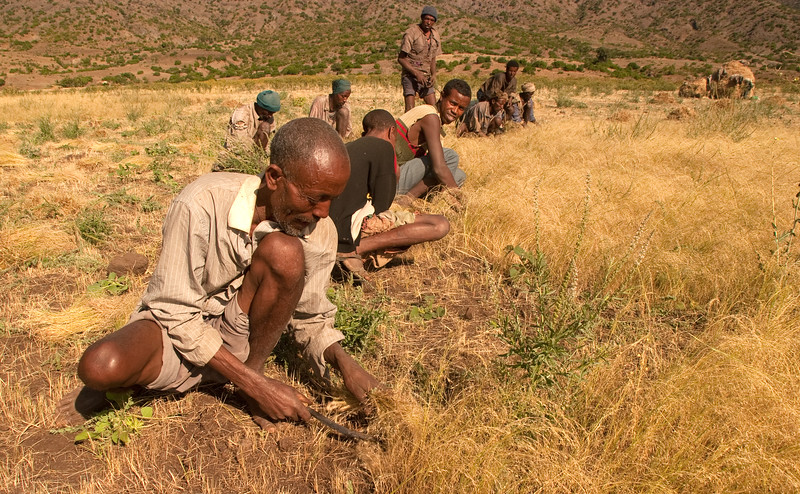In central Ethiopia, farmers harvesting  teff, a very fine grain used to make the staple bread of the Ethiopian diet, ingera. The man in the foreground is the owner of the farm and the others his neighbors who help each other at harvest time.