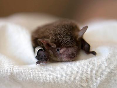 Eastern Broad-nosed Bat