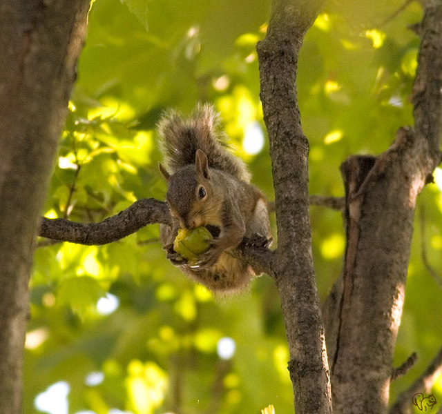 Busy time in the trees for squirrels right now so I went up to there level, almost.  4 shots taken from the second story window (old tall house) into a HUGE old hickory tree.